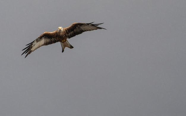 Adelaar in de lucht vliegt met open vleugels
