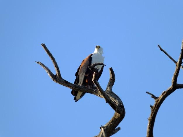 Adelaar op de safari in chobe nationaal park, botswana, afrika