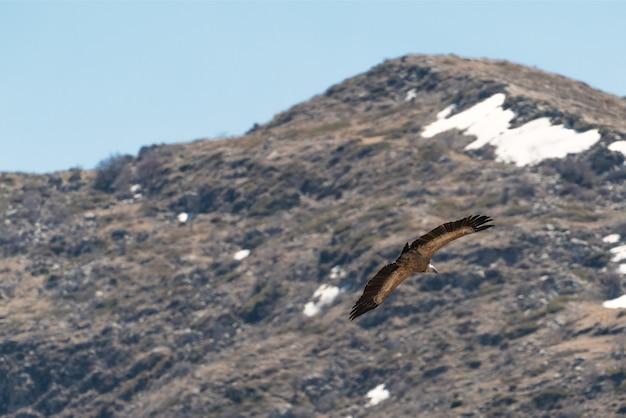 Adelaar tijdens de vlucht over de berg
