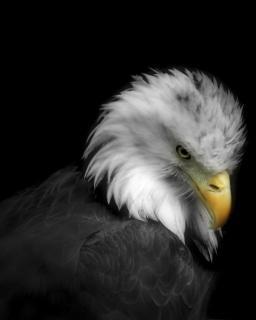 Adelaar, vogel, american