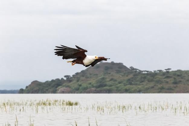 Adelaarvogel visjager adelaar uit lake baringo, kenia, afrika
