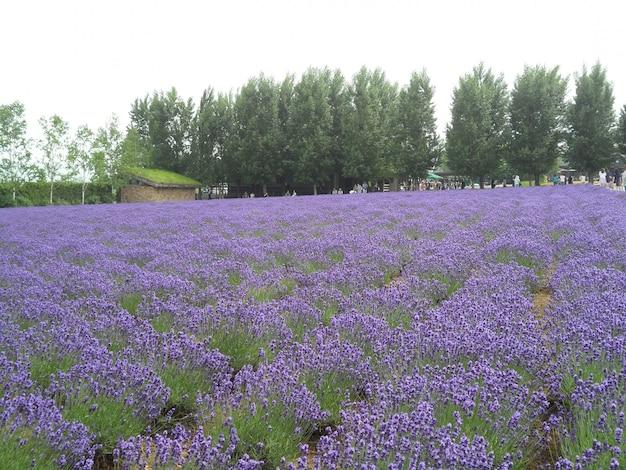 Adembenemend helder paars lavendelgebied in hokkaido, japan