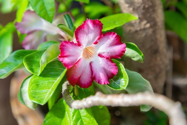 Adenium bloeit wit met roze randenboom