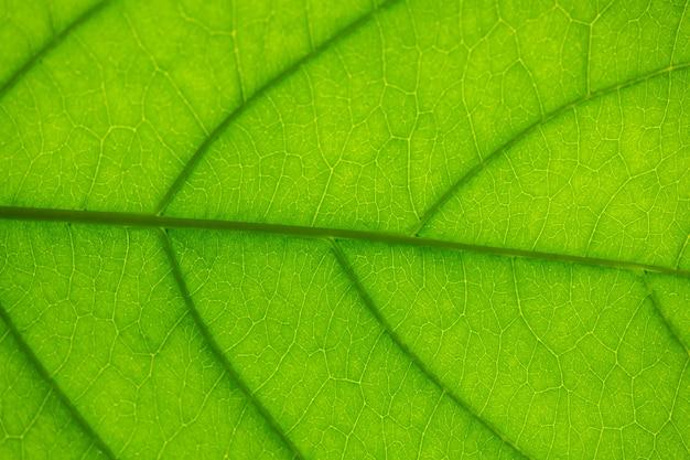 Aderen in een blad tegen het licht, textuur