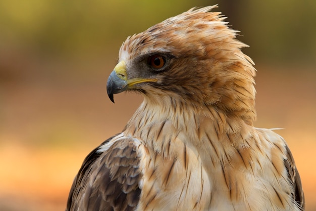 Adult booted eagle phale morph