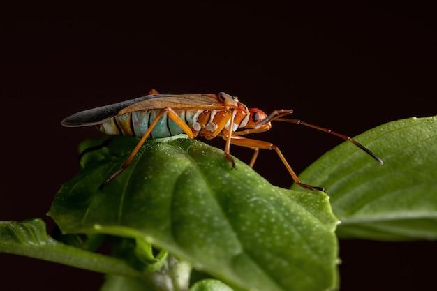 Adult cotton stainer bug van het geslacht dysdercus op een basilicumblad