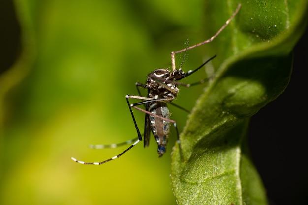 Aedes aegypti-mug die dengue in brazilië overbrengt op een blad, macrofotografie, selectieve focus