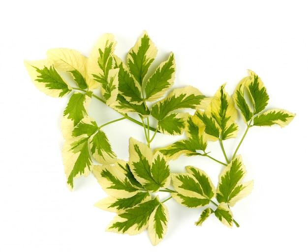 Aegopodium podagraria takken met groene bladeren