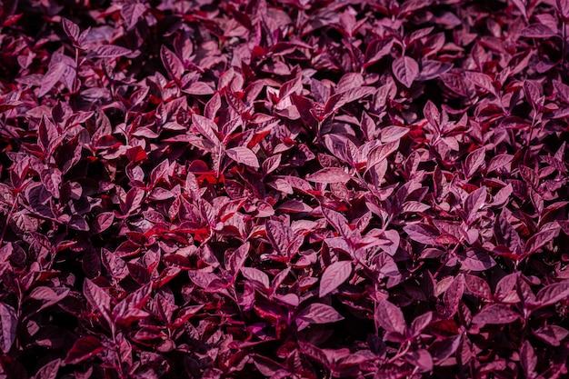 Aerva sanguinolenta (l.) blume of amaranthaceae, rode bladachtergrond mooi in de tuin en nuttige decoratieve sierplanten