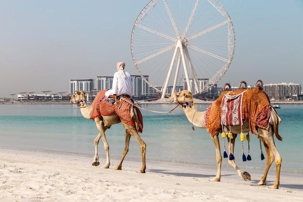 Afbeelding met kamelen.