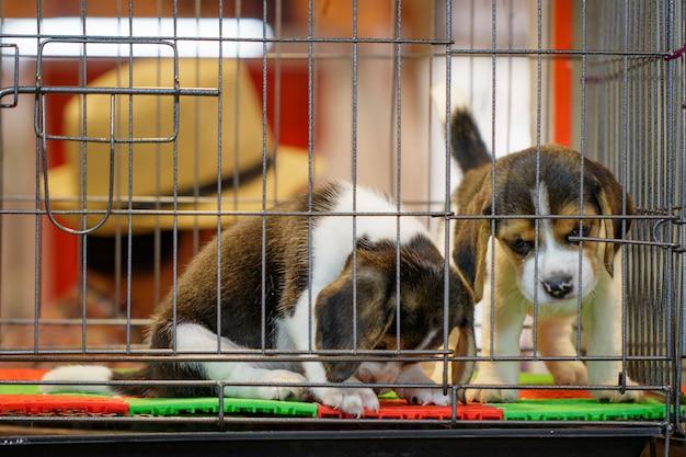 Afbeelding van beagle puppy is in de kooi. hond. pet. dieren.