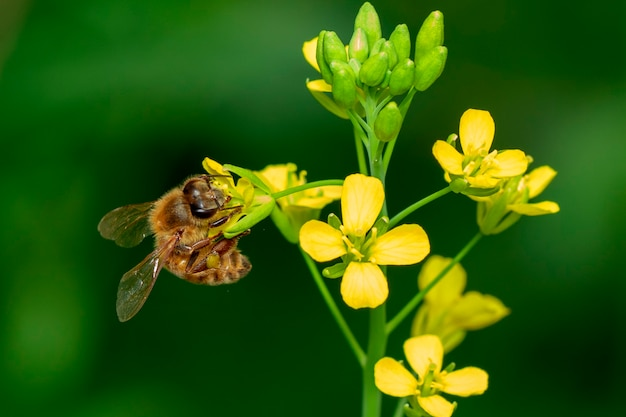 Afbeelding van bijen of honingbij op bloem verzamelt nectar. gouden honingbij op bloemstuifmeel met ruimteonduidelijk beeld voor tekst.