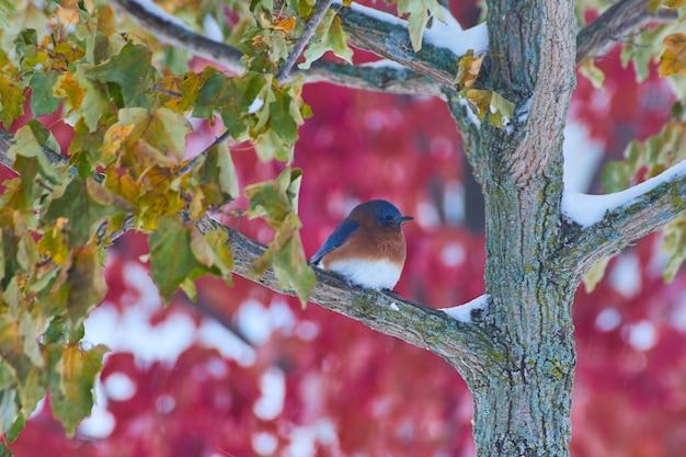Afbeelding van bluebird in winterboom met rode herfstboom op de achtergrond