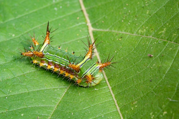 Afbeelding van brandnetel naaktslak caterpillar (cup moth, limacodidae)