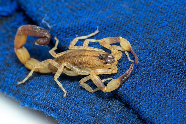 Afbeelding van bruine schorpioen op blauw doek. insect. dier.