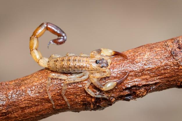 Afbeelding van bruine schorpioen op bruin droge boomtak. insect. dier.