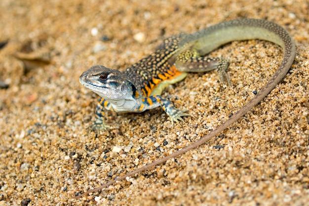 Afbeelding van butterfly agama lizard (leiolepis cuvier) op het zand. reptielen dier