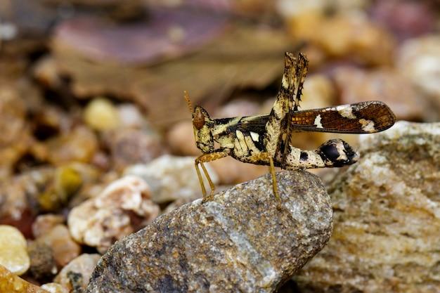 Afbeelding van conjoined spot monkey-sprinkhaan (vrouwtje), erianthus serratus op de rots. insect dier