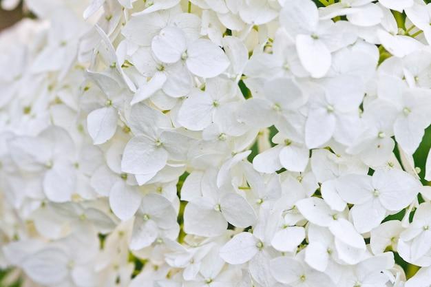 Afbeelding van de witte hortensia close-up.