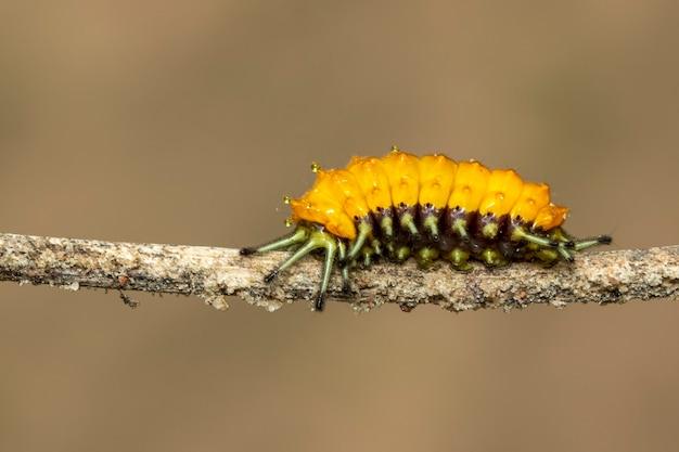 Afbeelding van een amber rups op bruine tak. insect. dier