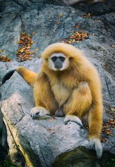 Afbeelding van een gibbon zittend op de rotsen. wilde dieren.