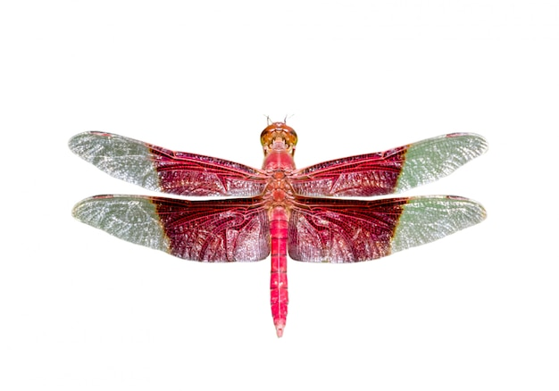 Afbeelding van een gigantische mannelijke sultan dragonfly (camacinia gigantea) geïsoleerd op een witte achtergrond