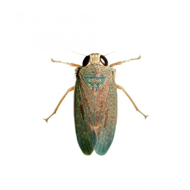 Afbeelding van een leafhopper (cicadella viridis) op witte achtergrond