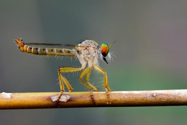Afbeelding van een roversvlieg (asilidae) op een tak. insect dier