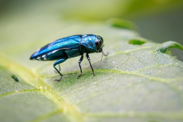 Afbeelding van emerald ash borer beetle op een groen blad. insect. dier