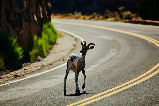 Afbeelding van geit die over een bochtige weg in de woestijn loopt