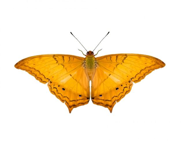 Afbeelding van gemeenschappelijke kruiser vlinder (vindula erota erota) geïsoleerd op een witte achtergrond
