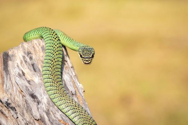 Afbeelding van golden tree snake (chrysopelea ornata) op de stomp. reptiel. dier.