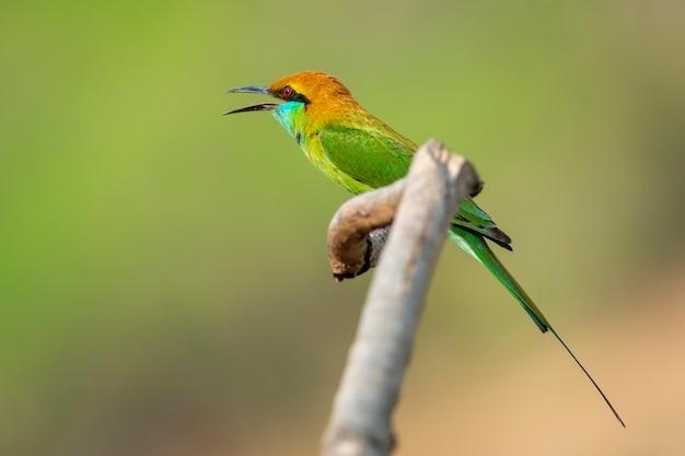Afbeelding van groene bijeneter bird (merops orientalis) op een boomtak op de achtergrond van de natuur. vogel. dieren.