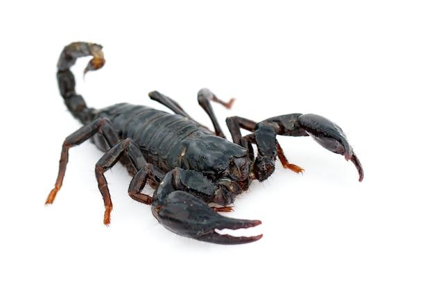 Afbeelding van keizer schorpioen (pandinus imperator). insect. dier.
