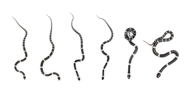 Afbeelding van kleine slangenset (lycodon laoensis), reptielen, dieren