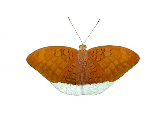 Afbeelding van mannelijke gemeenschappelijke graaf vlinders (tanaecia julii odilina) geïsoleerd op een witte achtergrond