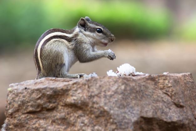 Afbeelding van middelgrote knaagdieren boom eekhoorns grondeekhoorns eekhoorns marmotten of prairiehonden