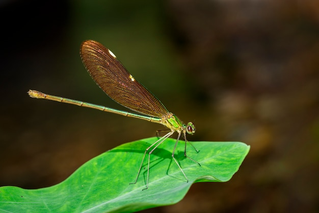 Afbeelding van oriental green-wing dragonfly (vrouwelijk), chinensis chinensis neurobasis op groene bladeren. insect dier.