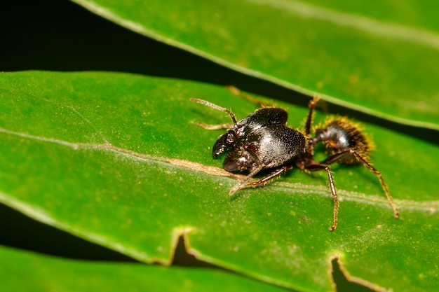 Afbeelding van pheidole jeton driversus mier (pheidole sp.) op het blad. insect,. dier.