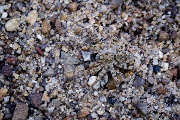 Afbeelding van river huntress spiders (venatrix arenaris) op het zand. insect dier