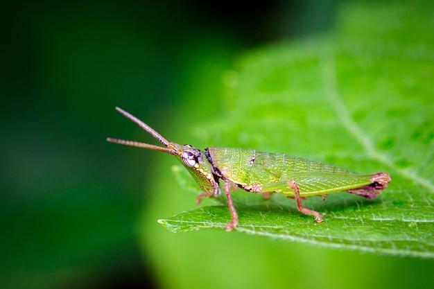 Afbeelding van slant-faced of opzichtige sprinkhaan op de natuur. insect. dier