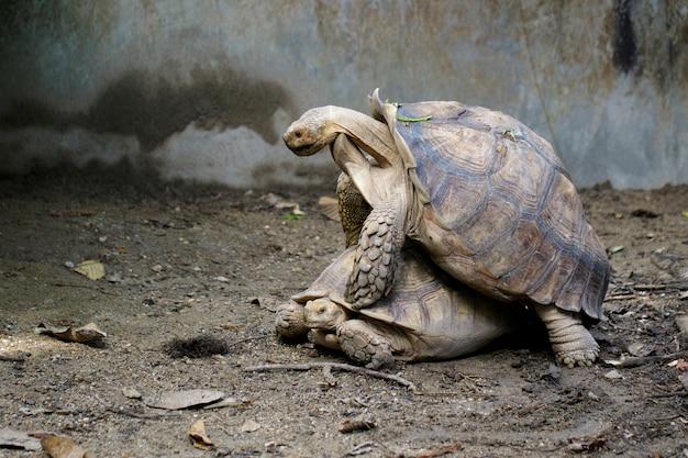 Afbeelding van sulcata-schildpad schildpad of afrikaanse aangespoorde schildpad (geochelone sulcata) broedt. reptiel. dieren.