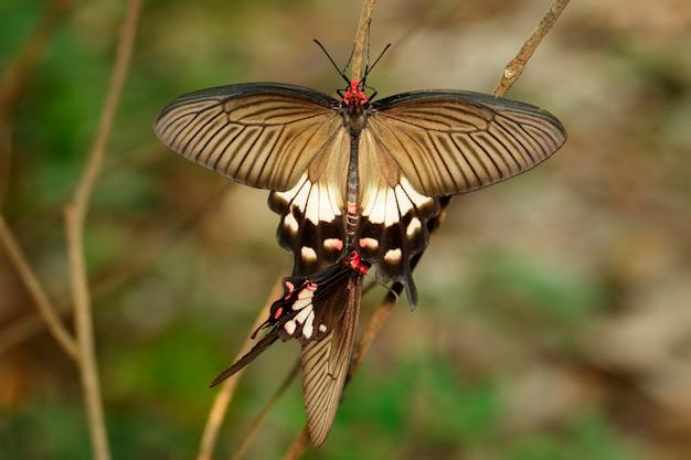 Afbeelding van vlinder (common mormon) op natuurlijke achtergrond. insect. dier.