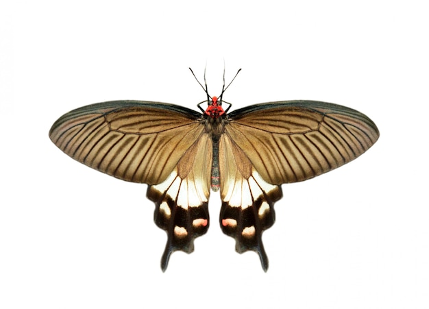 Afbeelding van vrouwelijke grote mormoonse vlinder (papilio polytes) geïsoleerd op een witte achtergrond