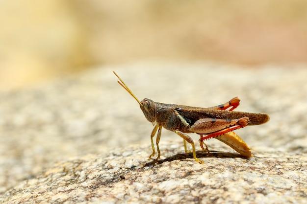Afbeelding van wit-gestreepte sprinkhaan (stenocatantops splendens) op de rots. insect. dier.