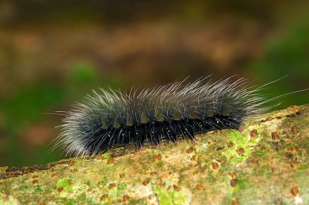Afbeelding van zwarte rupsworm (eupterote tetacea) met witte haren op de tak. insect,. dier.