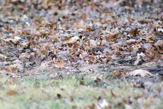 Afgevallen bladeren, gedroogd