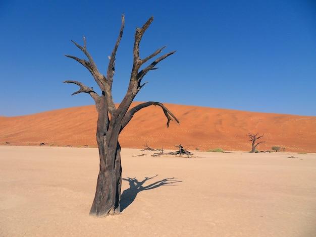 Afrika. eenzame staande droge boom in de saharawoestijn.