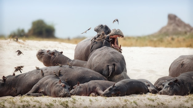Afrika nijlpaard amphibius