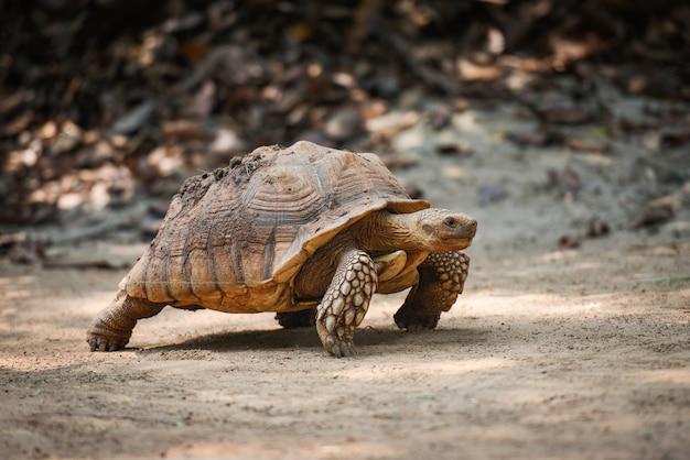 Afrikaanse aangespoorde schildpad / close-up schildpad wandelen